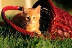 Бенгальская кошка - кошка ли она?